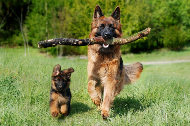 About German Shepherds